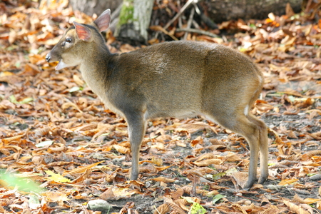 asia deer: The muntjac (Muntiacus) are a genus of deer living in Asia