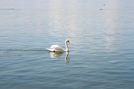 cygnus olor: A white adult Mute Swan (Cygnus olor) in the foraging Stock Photo