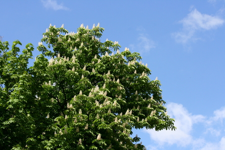 horse chestnut': A horse chestnut tree in the flowering season, blue sky in the background Stock Photo