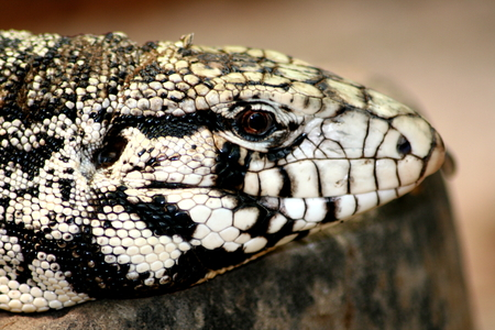 cold blooded: Portrait of a Gila Monster (Heloderma suspectum) Stock Photo