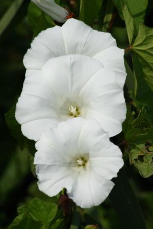 arvensis: Three flowers of a white field bindweed (Convolvulus arvensis) Stock Photo