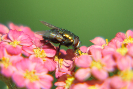 attended: A fly attended a red-flowered bloom Stock Photo