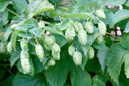 humulus: The umbels of a hop plant Humulus Stock Photo