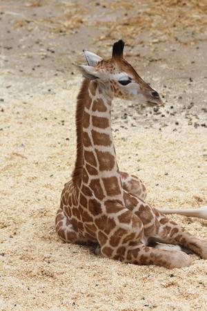 giraffa camelopardalis: a portrait shot of a giraffe Giraffa camelopardalis Stock Photo