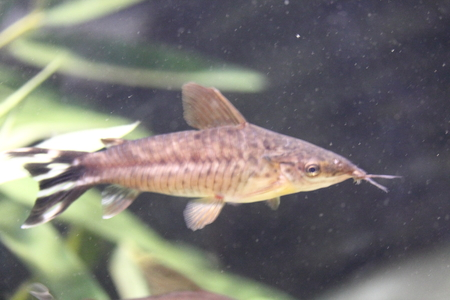 The Flagtail catfish Dianema urostriatum comes from the waters of Brazil Stock fotó