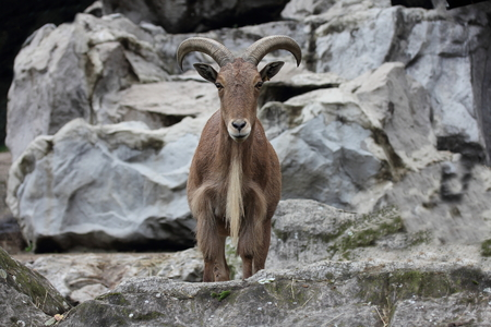 mammalian: The Barbary sheep Ammotragus lervia is a northern Africabased mammalian species Stock Photo