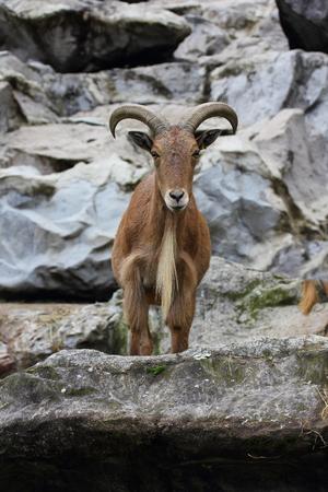 mammalian: The Barbary sheep Ammotragus lervia is a northern Africabased mammalian species Stock Photo