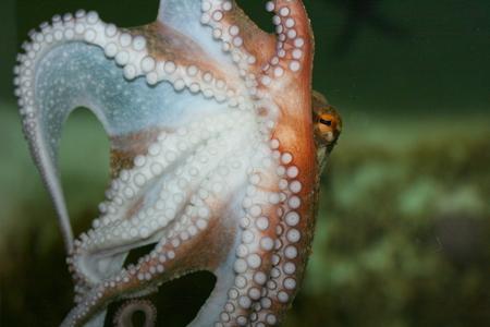 mollusc: Detail view of a octopus Octopoda