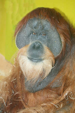 pongo: The orangutans Pongo are a primate species from the family of great apes Stock Photo