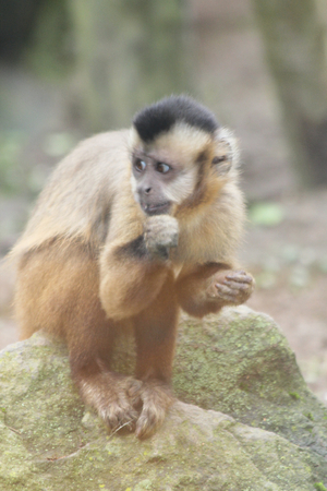 primate: TheTufted capuchin monkey or corn Sapajus Apella is a primate of the genus capuchins