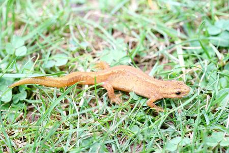 amphibians: The newt Triturus belongs to the class of amphibians Stock Photo