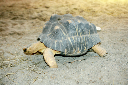 radiated: The radiated tortoise Astrochelys radiata is an originally endemic to Madagascar Species from the family of tortoises Stock Photo