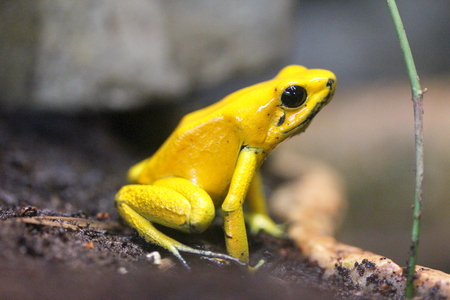 poison frog: The terrible poison dart frog Phyllobates bilis of the most poisonous frog