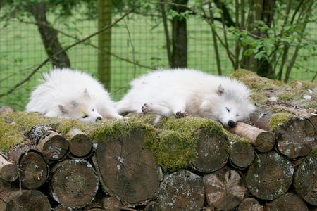 arctic fox: Two arctic fox Vulpes lagopus sleeping on a pile of wood