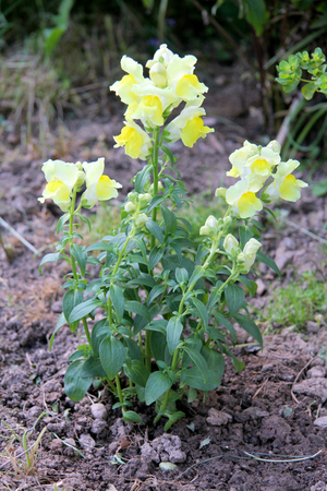 plantaginaceae: The snapdragon Antirrhinum are a plant kind from the family of the plantain family Plantaginaceae
