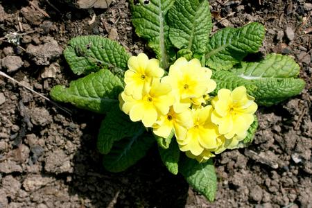 primroses: The primroses Primula is a genus of the family of Primulaceae