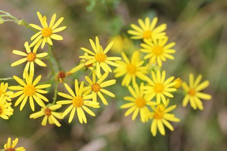 nger: The Ragwort (Senecio jacobaea) belongs to the genus of Senecio Das Jakobs-Greiskraut (Senecio jacobaea) gehört zur Pflanzengattung der Greiskräuter Stock Photo