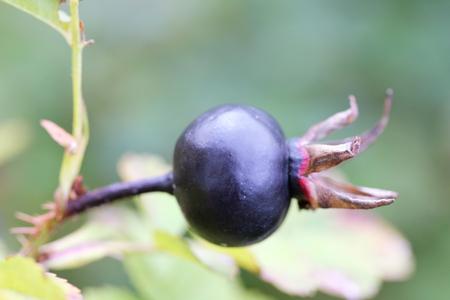 pflanze: not yet harvested a black berry eine schwarze Beere noch nicht geerntet