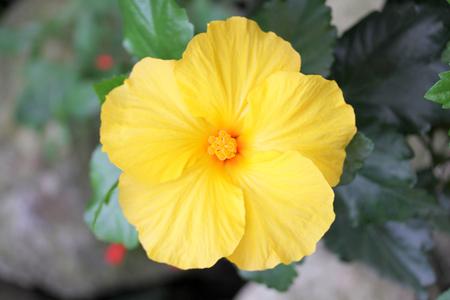 nahaufnahme: Hibiscus (Hibiscus) is a genus of the mallow family Hibiskus (Hibiscus) ist eine Pflanzengattung aus der Familie der Malvengewächse Stock Photo