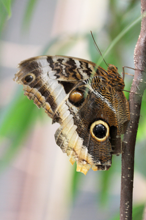 nymphalidae: Owl Butterfly is a butterfly of the family Nymphalidae.