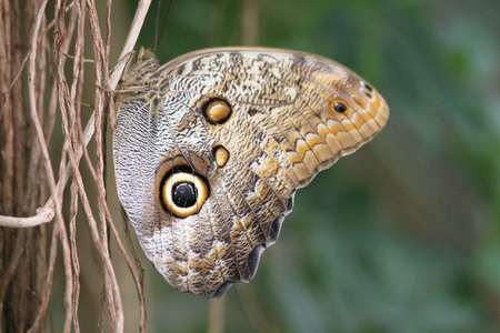 nymphalidae: Owl Butterfly is a butterfly of the family Nymphalidae. C