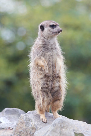 suricata: The meerkat Suricata suricatta, is a mammal of the mongoose family