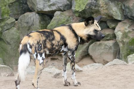 hienas: El hienas Hyaenidae son una familia de mamíferos del orden Carnivora la