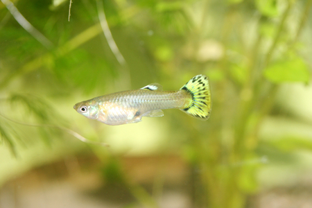 poecilia: A Female Guppy Poecilia reticulata, a popular freshwater aquarium fish