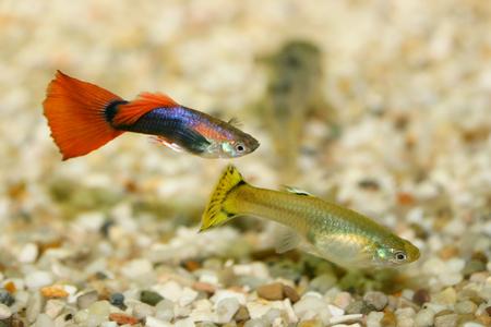 poecilia reticulata: A Female and a Male Guppy Poecilia reticulata