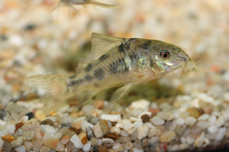 warm water fish: The Marbled catfish Corydoras paleatus, a popular freshwater aquarium fish