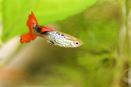 poecilia: A male guppy Poecilia reticulata, a popular freshwater aquarium fish