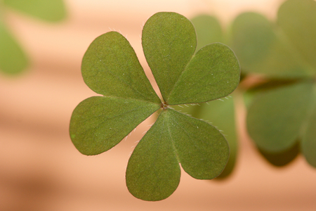 three leafed: A three-leafed clover, background out of focus Stock Photo