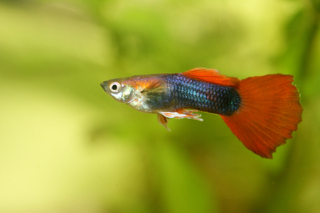 life giving birth: A male guppy Stock Photo