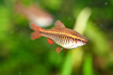 freshwater fish: The cherry barb Puntius titteya is a freshwater fish of the carp family Cyprinidae