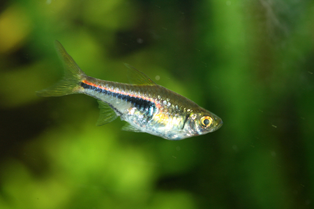 warm water fish: The Harlequin Rasbora Rasbora heteromorpha a popular freshwater aquarium fish