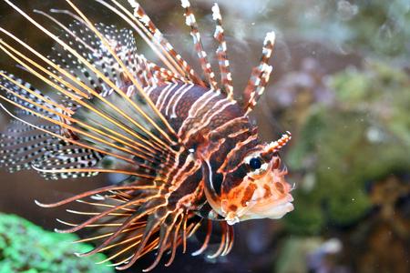 firefish: A single antenna firefish Pterois antennata