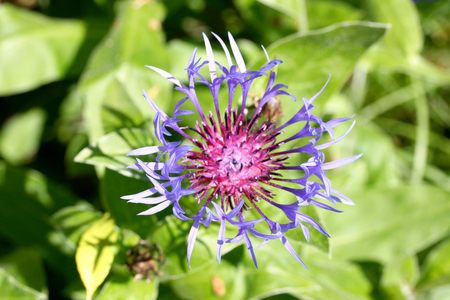 centaurea: A cornflower Centaurea cyanus prior to full bloom Stock Photo