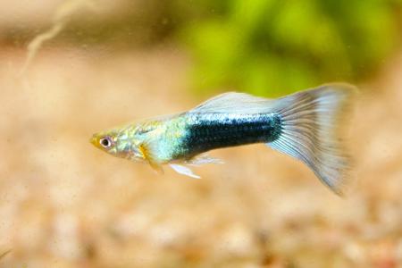 poecilia reticulata: A male guppy Poecilia reticulata, a popular freshwater aquarium fish