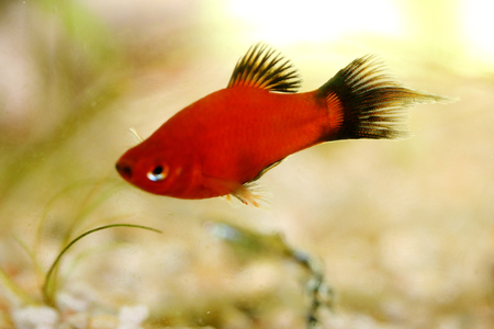 freshwater fish: Platy Xiphophorus maculatus, a popular freshwater aquarium fish