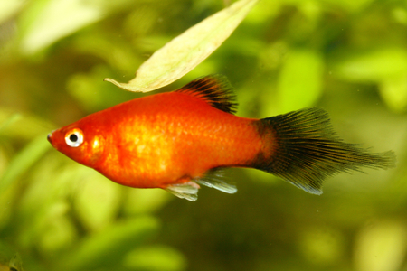 maculatus: Platy Xiphophorus maculatus, a popular freshwater aquarium fish Platy Xiphophorus maculatus or Spiegelkrpfling, a popular aquarium fish-Swasser Stock Photo