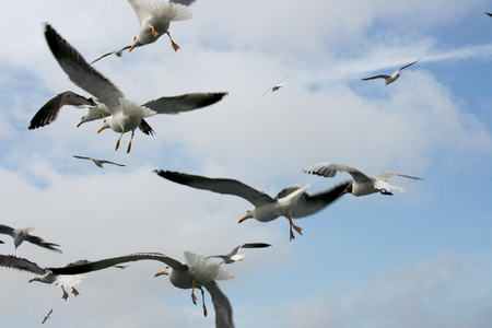 seabird: Close-up of a flying gull, with blue sky background