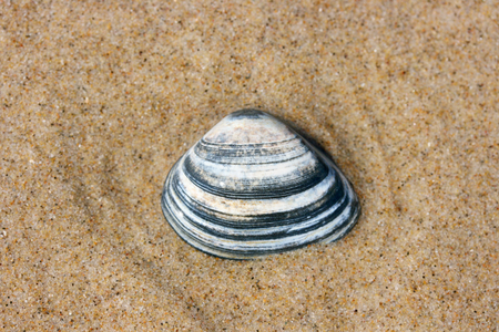 beachcombing: A washed up by the waves seashell lying in the sand