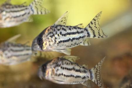 ornamental fish: The Bands-catfish Corydoras schwartzi a popular ornamental fish