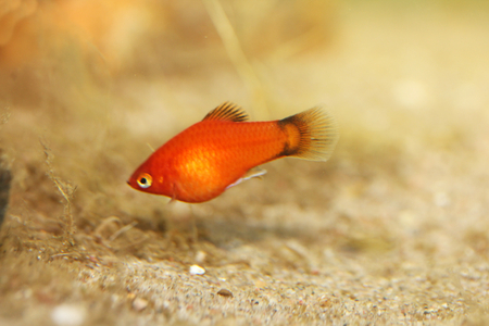 warm water fish: Platy Xiphophorus maculatus, a popular freshwater aquarium fish