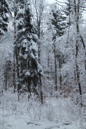 copse: A snow-covered winter landscape, with trees and open space