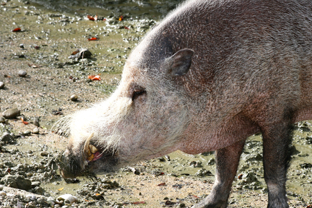 sus: Detail shot of a wild boar Sus scrofa Stock Photo