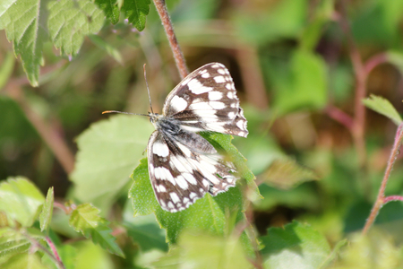 nymphalidae: The Marbled White is a butterfly of the Nymphalidae subfamily of Brushfoots