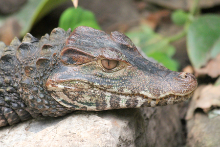 lurking: Detail view of a crocodile lurking at Waterfront