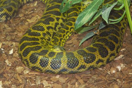 viviparous: The yellow anaconda Eunectes notaeus, is a kind from the family of boas Boidae