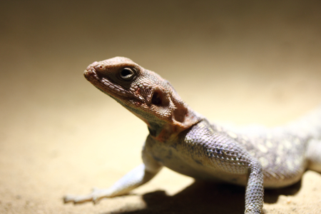 belongs: The Red-headed agama Agama agama is a lizard and belongs to the family of Agamas Agamidae